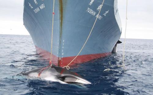 尽管商业重启日本捕鲸业的前景不明朗