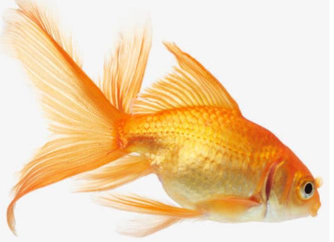 一般养金鱼的人只要能够养成功,销售的渠道还是很多的
